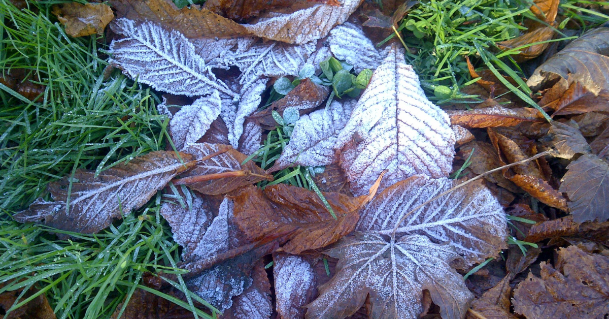 surviving winter term frosted autumn leaves